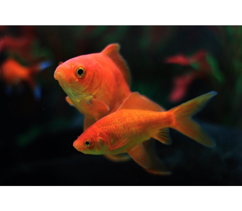 Common Goldfish - Carassius Auratus