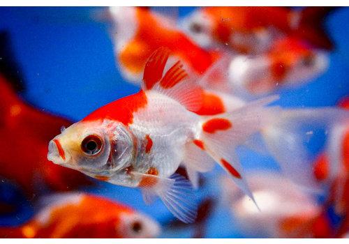 Fancy Goldfish Sarasa