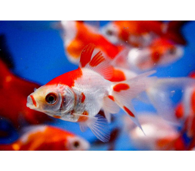 Fancy Goldfish Sarasa - Carassius Auratus