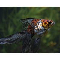 Fancy Goldfish Calico - Carassius Auratus