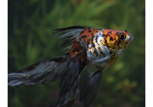 Fancy Goldfish Calico