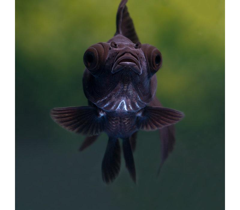 Sluierstaart Zwart - Carassius Auratus