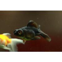 Black Moor Goldfish - Carassius Auratus
