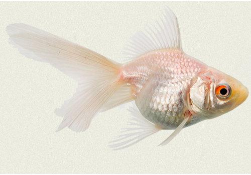 Sluierstaart Albino