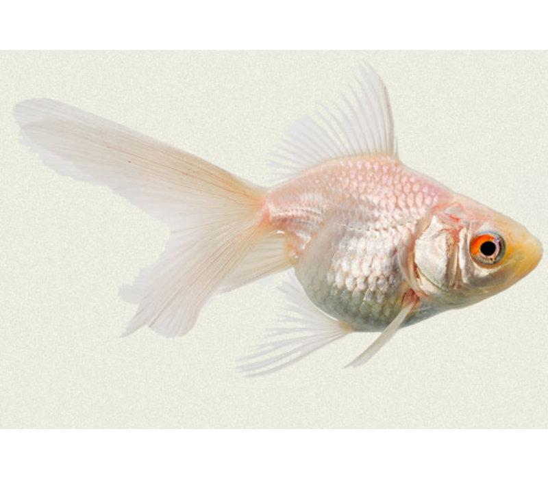 Fancy Goldfish White - Carassius Auratus
