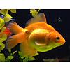 Fancy Goldfish Red - Carassius Auratus