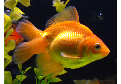 Fancy Goldfish Red