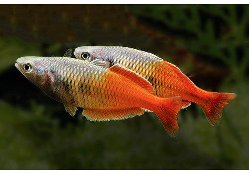Boeseman's Regenboogvis Red