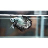 Samurai Plakat Betta (Male) - Betta Splendens