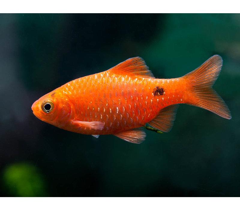 Rosy Barb Super Red - Barbus Conchonius