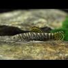 Striped Borneo Sucker - Gastromyzon Viriosus