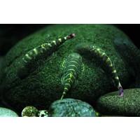Geelvin Algeneter - Gastromyzon Viriosus