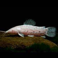 Hoplo Catfish (Albino) - Hoplosternum Thoracatum