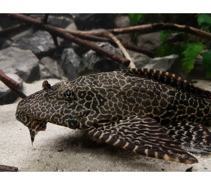 Sailfin Pleco - Glyptoperichthys Gibbiceps