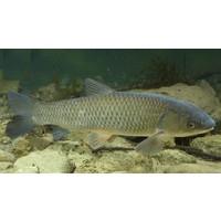 Graskarper - Ctenopharyngodon idella