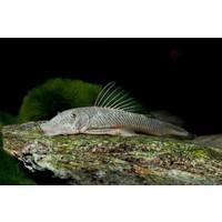 Rubberneus Pleco - Chaetostoma thomasi