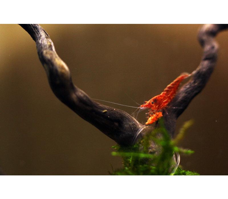 Vuurgarnaal - Neocaridina Davidi sp. Red