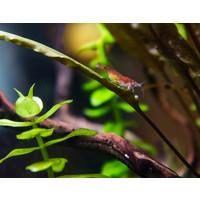 Cherry Shrimp - Neocaridina Davidi sp. Red