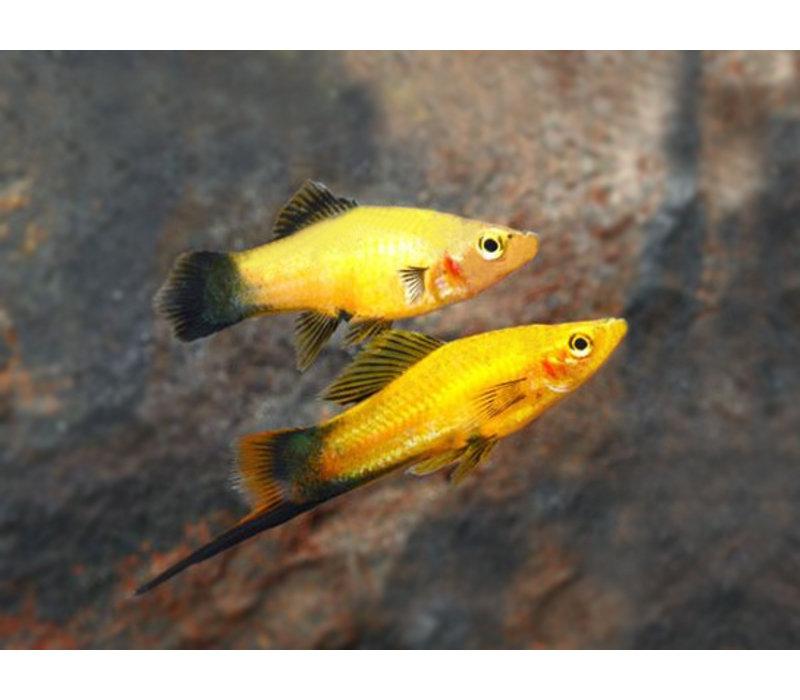 Swordtail Gold Wagtail - Xiphophorus Helleri