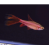 Longfin Cherry Barb - Barbus Titteya