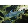 Blauwe Haai - Pangasius Hypophthalmus