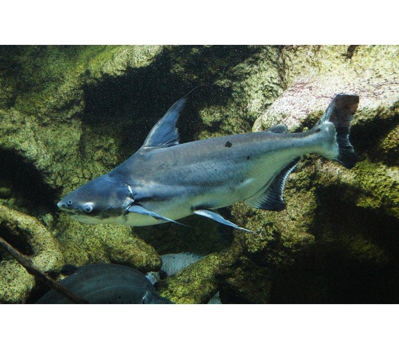 Iridescent Shark - Pangasius Hypophthalmus