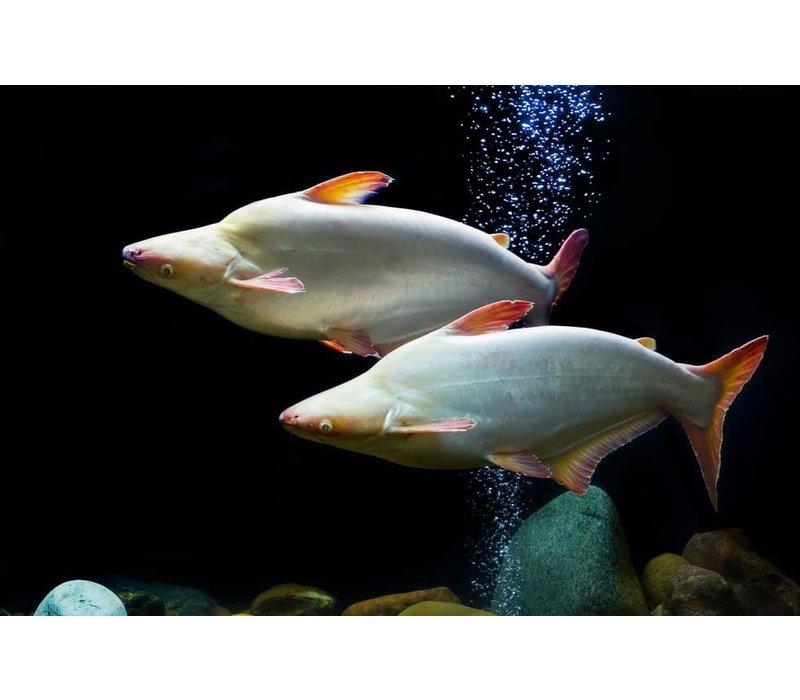 Iridescent shark (Albino) - Pangasius Hypophthalmus