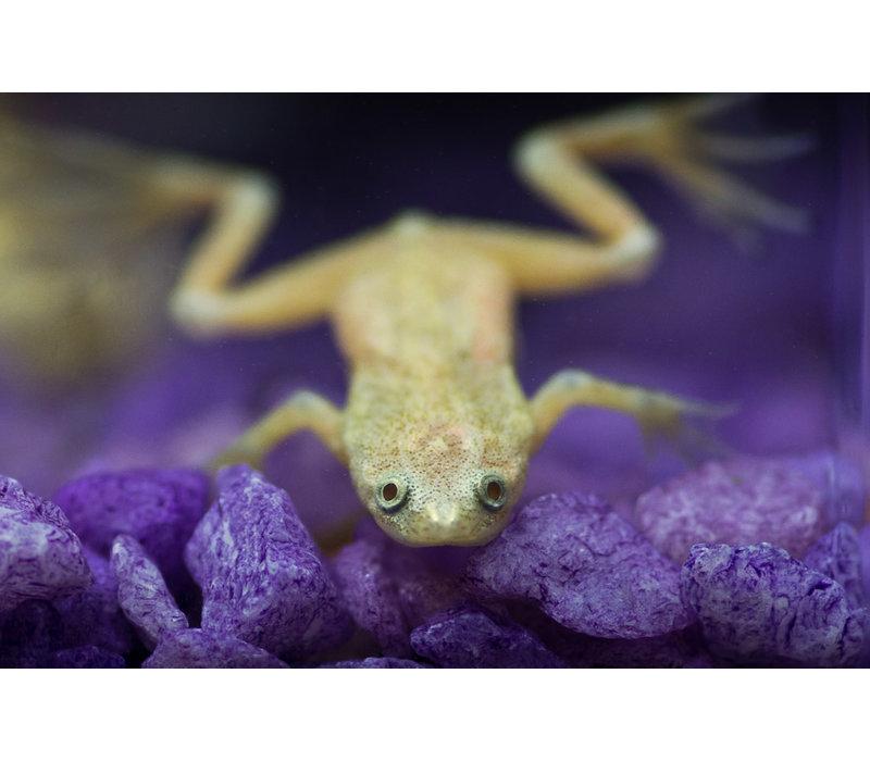 Albino African Dwarf Frog - Hymenochirus Boettgeri