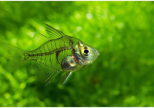 Indian Glassfish