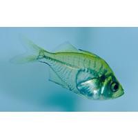 Indian Glassfish - Chanda Ranga