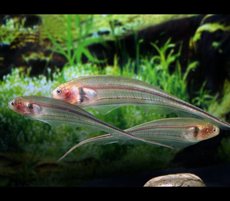 Glass Knifefish - Eigenmannia Virescens