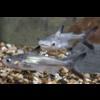 Paroon Shark - Pangasius Sanitwongsei
