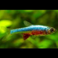 Sundadanio Axelrodi sp. Neon Blue