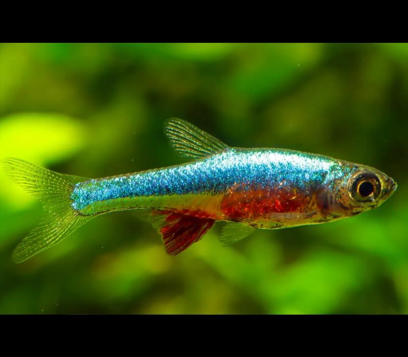 Neon Blue Rasbora - Sundadanio Axelrodi sp. Neon Blue