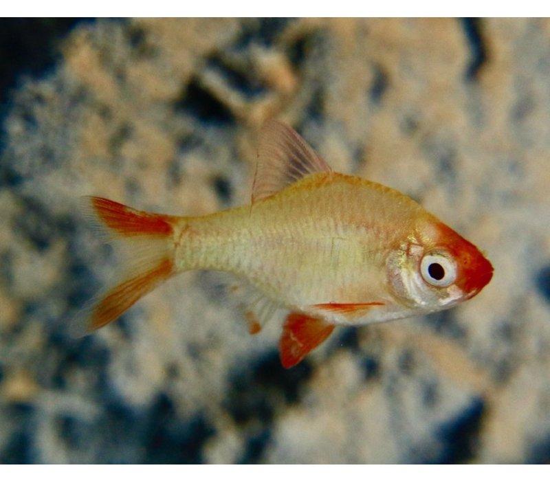 Tiger Barb Platinum Gold - Barbus Tetrazona