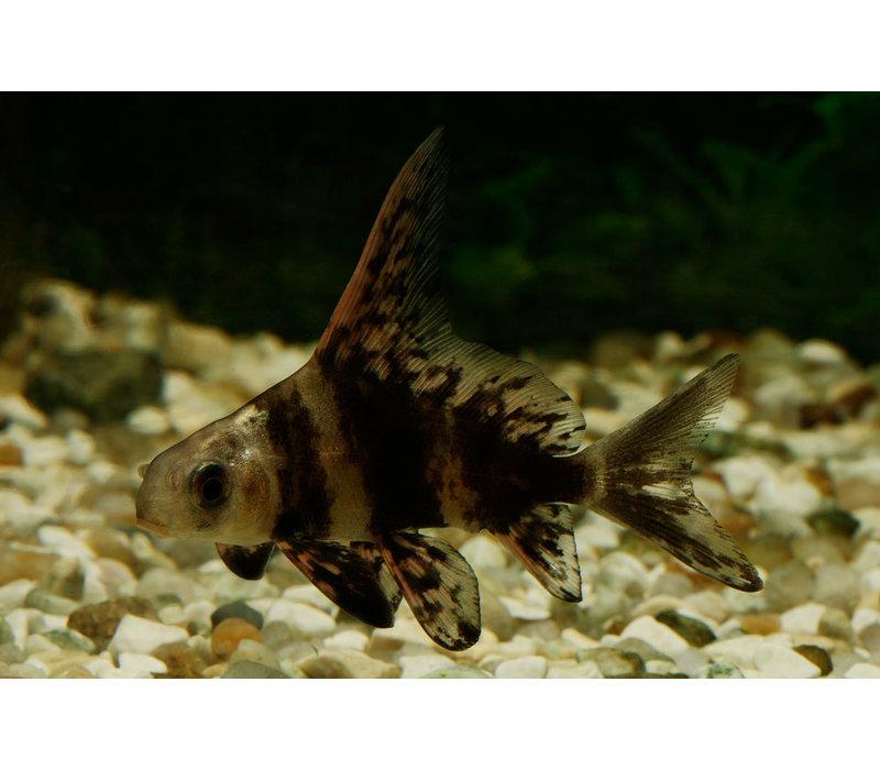 Hoogvinalgeneter - Myxocyprinus Asiaticus