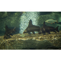 Chinese High Fin Banded Shark - Myxocyprinus Asiaticus