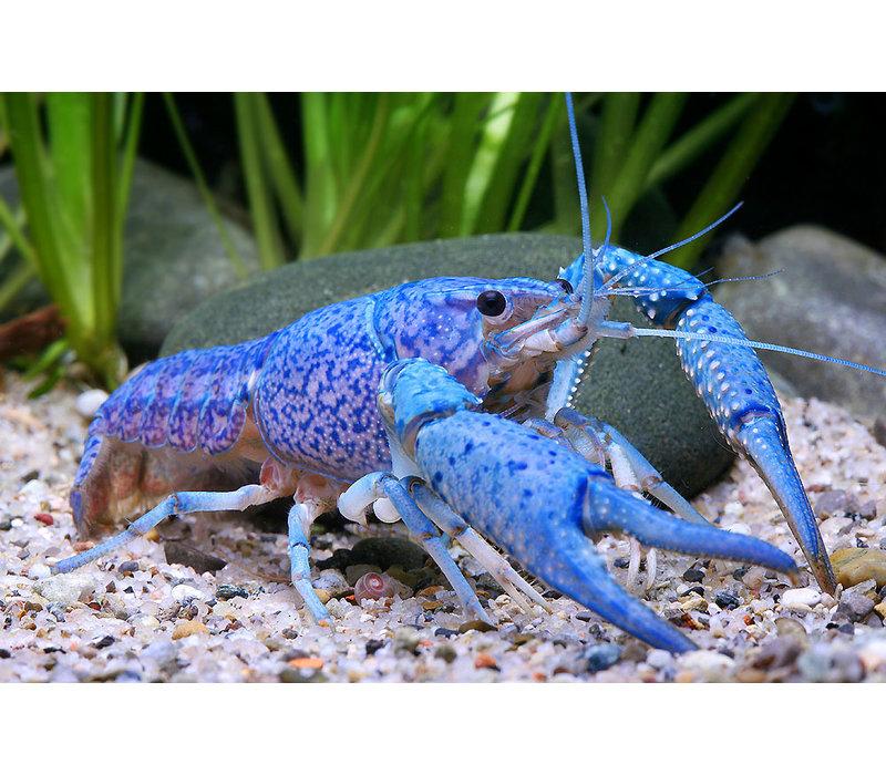 Electric Blue Crayfish - Procambarus alleni var. blue