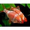 Sumatraan Rood - Barbus Tetrazona
