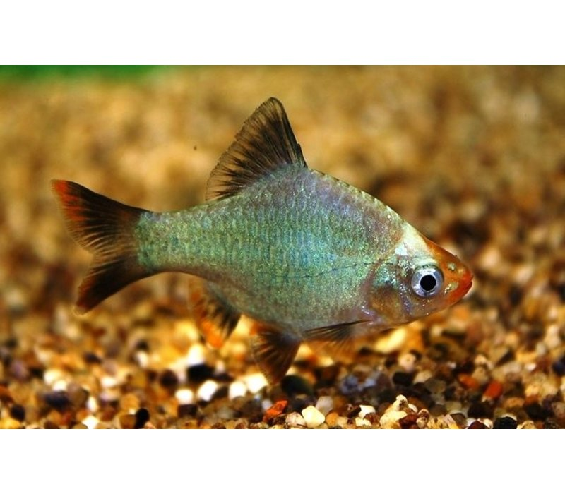 Sumatraan Platinum Green - Barbus Tetrazona