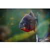 Redbelly Piranha - Serrasalmus Nattereri