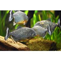 Roodbuik Piranha - Serrasalmus Nattereri