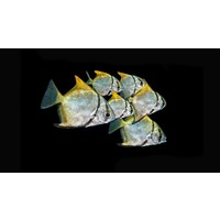 Zilverbladvis - Monodactylus Argenteus (Let Op - Brak Water)