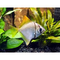 Mono Argenteus - Monodactylus Argenteus