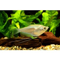 Moonlight Gourami - Trichogaster Microlepis