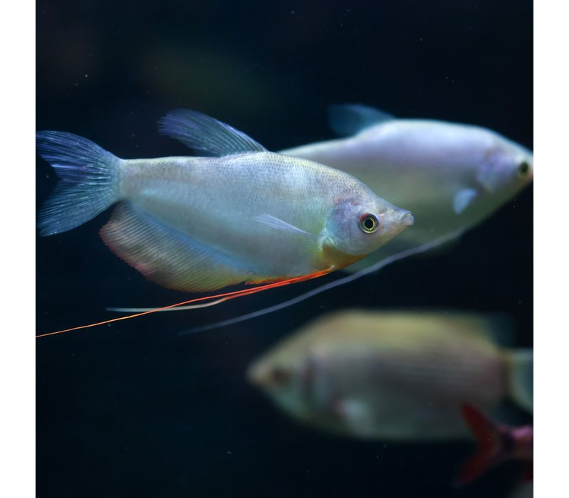 Zilver Gourami - Trichogaster Microlepis