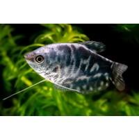 Opaline Gourami - Trichogaster Trichopterus 'Marbled'