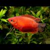 Diklip Gourami Rood - Trichogaster Labiosa Red