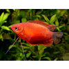 Thick-Lipped Gourami - Trichogaster Labiosa Red