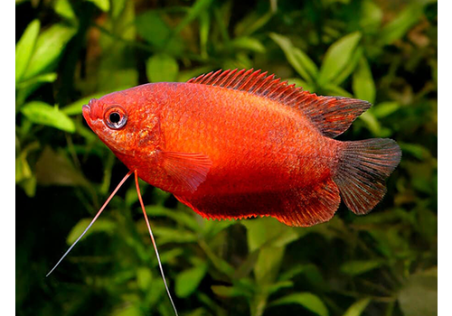 Thick-Lipped Gourami Red